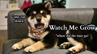 Shiba Inu Puppy (8 weeks) to 1 Year | Compilation | Tiny Rick The Shibe