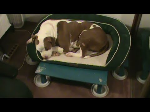 Bed Bugs How To Protect Pets Dog Cat Bird From Bed Bug Attack Infestation Save Pet Dogs Cats Birds