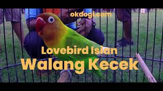 Masteran MANYOS! Lovebird Isian Walang Kecek