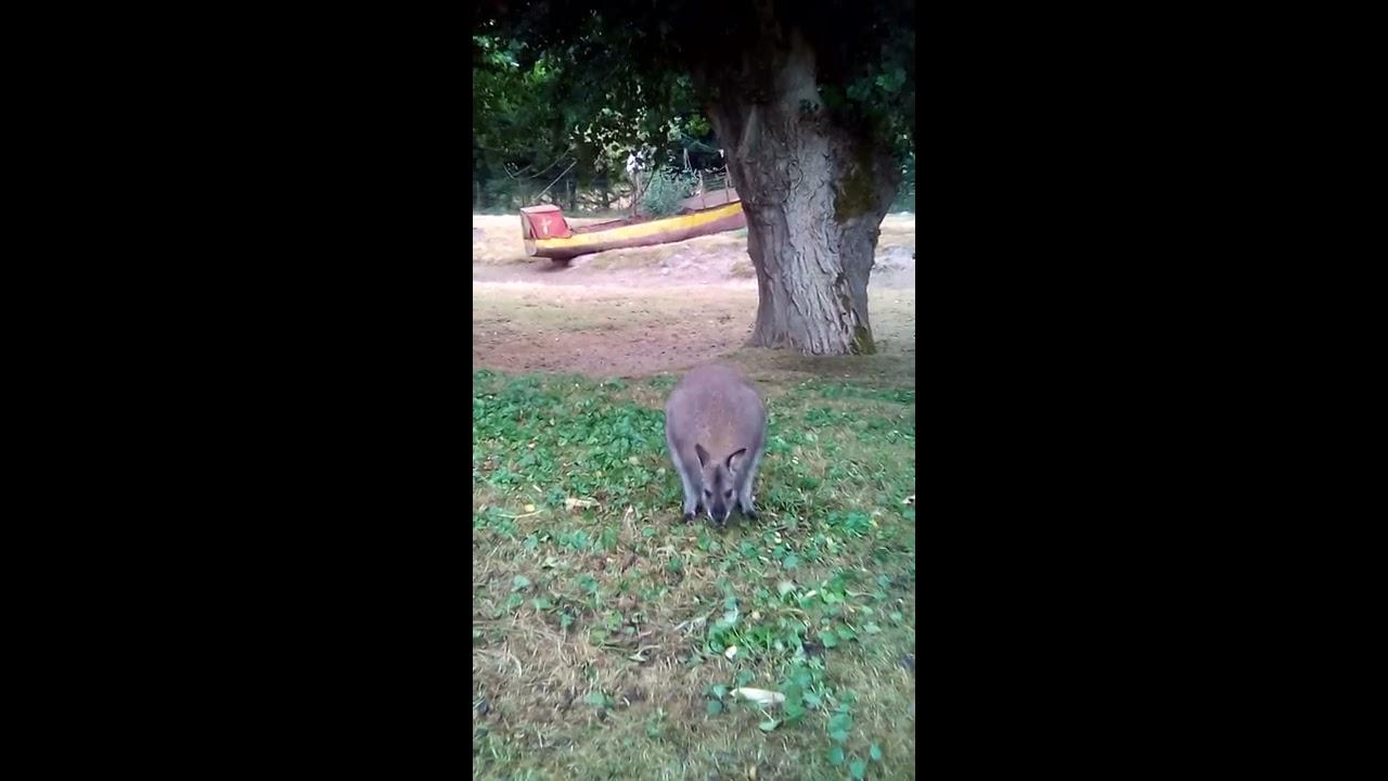 bdf4c57f4ec4 Maman kangourou avec son petit dans sa poche au jardin des kangourous