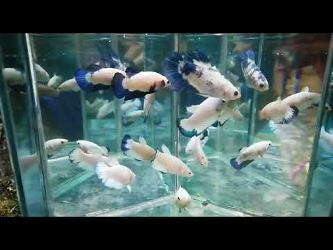 Ikan Cupang Blue Rim Betina Female Youtube