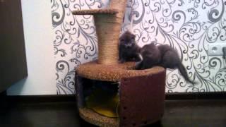 Шотландские вислоухие котята и домик