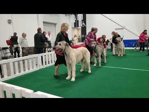 Aurora Dog Show Sat.Nov 23/2019 Irish Wolfhounds