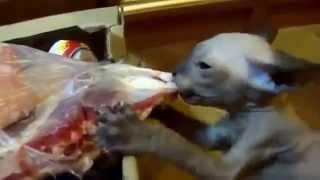 Кот сфинкс вцепился в мясо