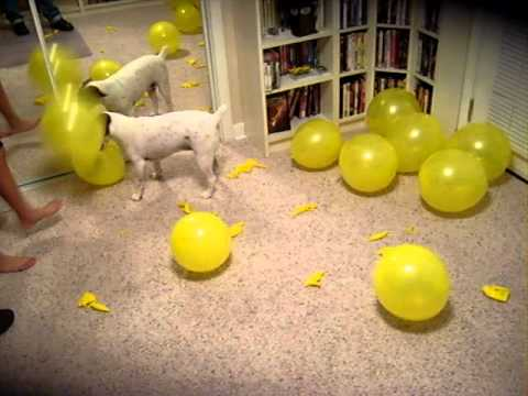 Jack Russell popping balloons