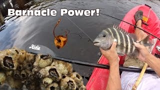 Using Barnacles as Bait: Sheepshead Fishing
