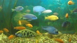 Cichlidae Цихлиды Большие Аквариумные Рыбки