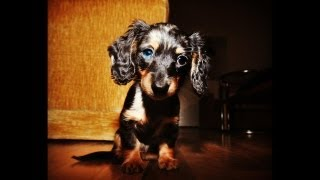 All Dachshunds Calling All Dachshunds Video Slide Show Showing All Types Of The Breed