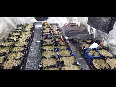 Начало выгонки тюльпана к 8 марта. Полив, удобрение, притенение и повышение температуры. Часть 1.