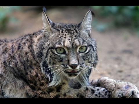 Endangered Iberian Lynx Cat Of Spain (Wildlife Documentary)