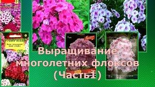 Выращивание флоксов из семян и корневищ (Часть 1)
