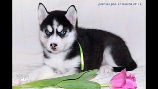 Девочка щенка хаски чёрно-белую, родились 27 января 2019 года
