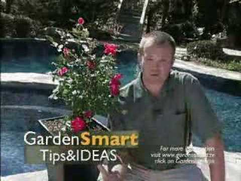 Wayside Gardens Gardening Tips   Container Roses   YouTube