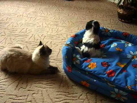Kocourek Ragdoll (Fredy) a Boloňský psík (Ben) 2 - YouTube 4a1a450f54