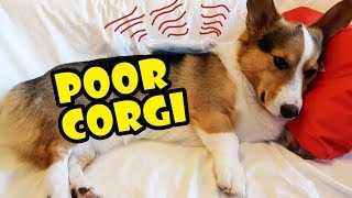 POOR CORGIS BACK INJURED - Refuses to Play || Life After College: Ep. 547 thumbnail