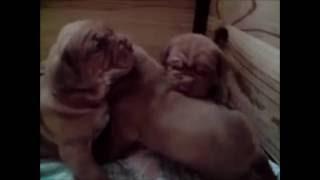 """Magnifiques Bébés """"dogue De Bordeaux"""""""