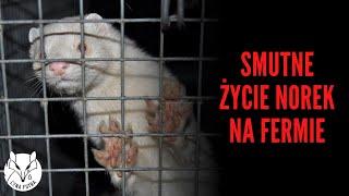 [ZOBACZ] Ranne i martwe zwierzęta na fermie Andrzeja Piątaka