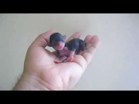 Amazing Newborn Teacup Chihuahua - Chihuahua de Bolsillo Recien Nacido