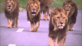 Scary video of Lions walking towards car! thumbnail
