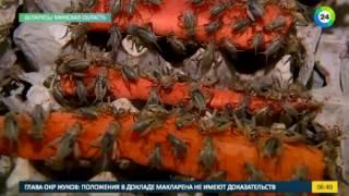 В Беларуси выращивают вкусных съедобных тараканов и червяков - МИР24