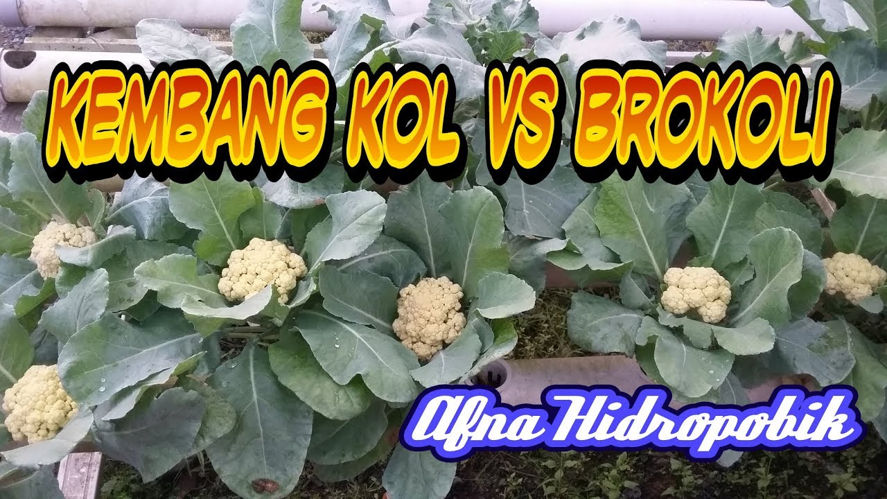 Kembang Kol Brokoli Hidroponik Cauliflower Brocoli Hydroponic Youtube