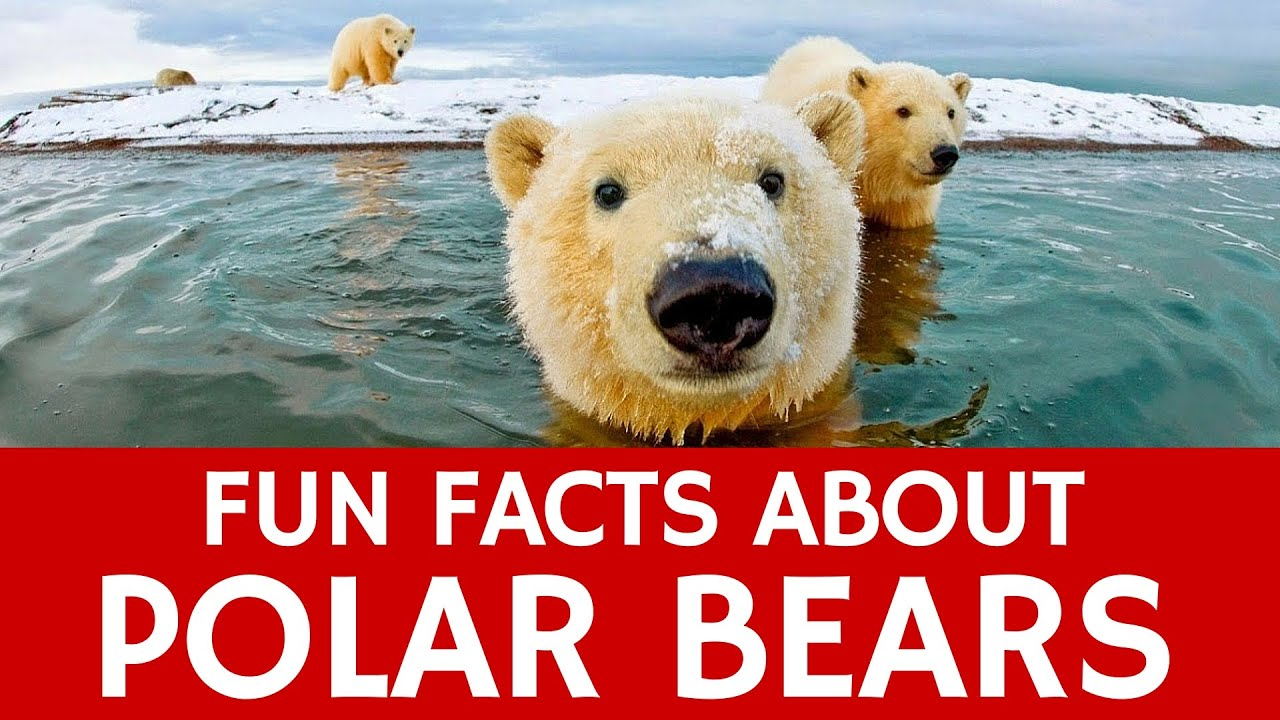 Interesting Facts about Polar Bears – Educational Video for Kids ...