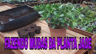 Fazendo mudas da Planta Jade