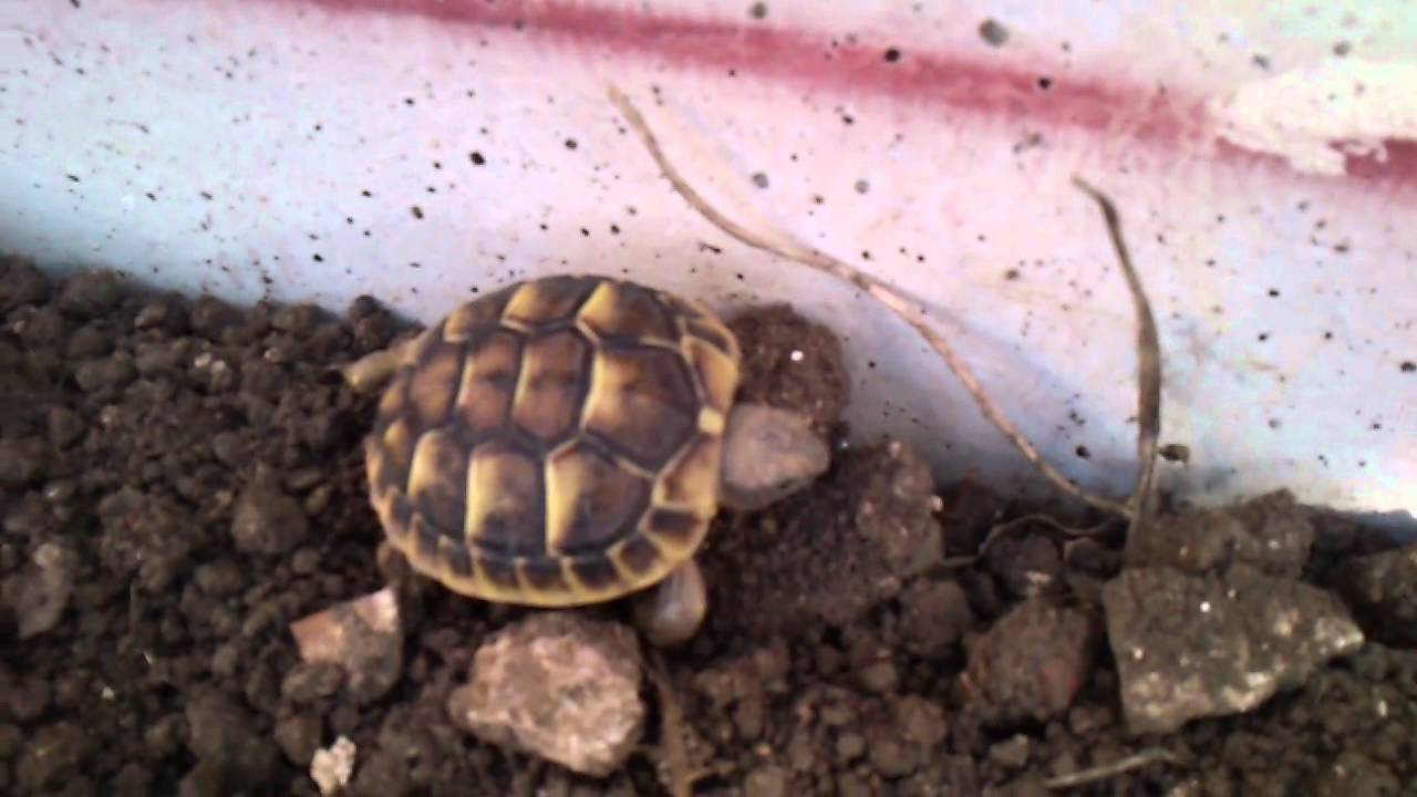 Baby testudo hermanni piccola e grande tartaruga di terra for Terrario per tartarughe di terra giardino