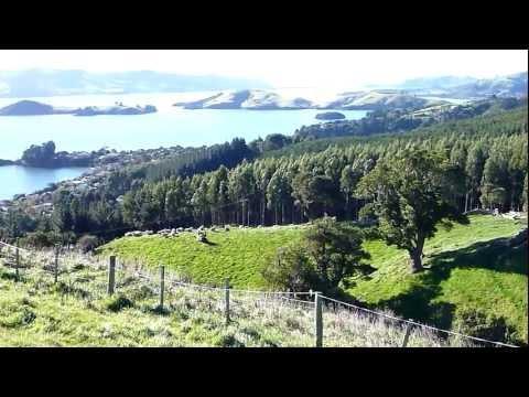 Sheep herding Dunedin New Zealand