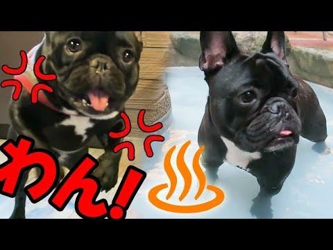 犬用温泉�ココ大激怒��や��ココ��ブ�切れ�ん�ん 愛犬�箱根旅行8