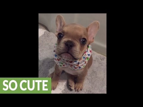 "French Bulldog puppy repeatedly says ""I love you"""