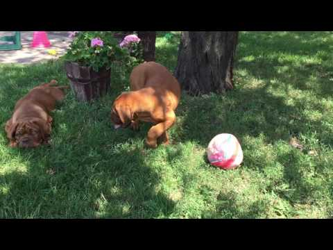 Dogue de Bordeaux puppies for sale by Euro Puppy