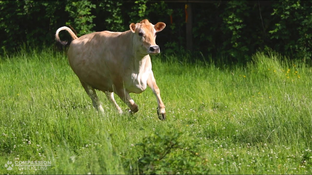 meet daisy the rescued dairy cow youtube