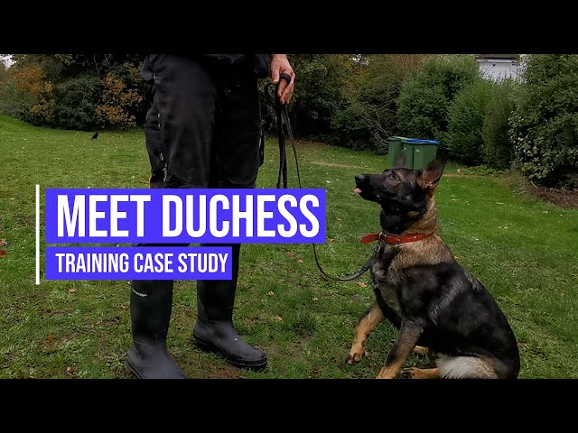 Helping a German Shepherd with aggression issues towards other dogs