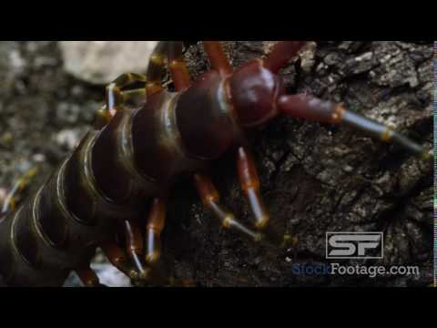 Extreme close shot of a Peruvian Giant Centipede crawling on some bark