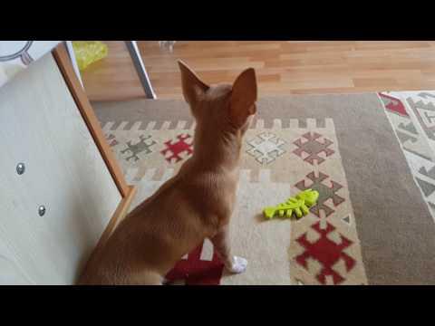 Köpeğim Badi Adını Çabuk Öğrendi Çağırdığında Anında Geliyor (Dog Chihuahua Buddy Şivava)