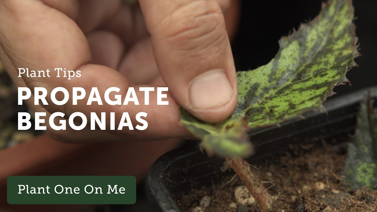 How To Propagate Begonias Ep 108 Youtube