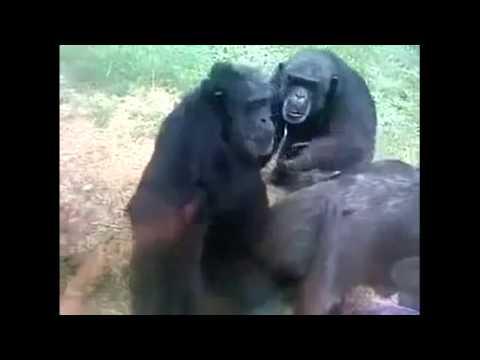 видео: Бессовестные обезьяны.