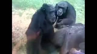 Бессовестные обезьяны.