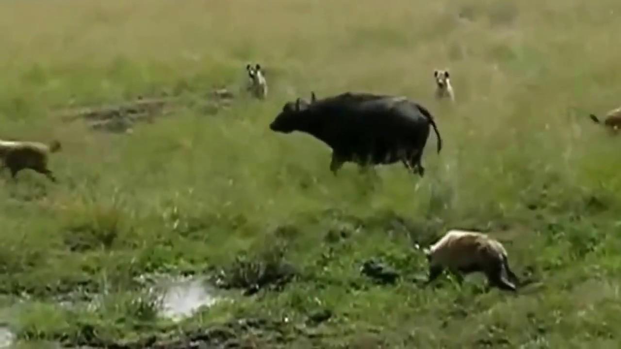 Download Wild animals attacks befalo