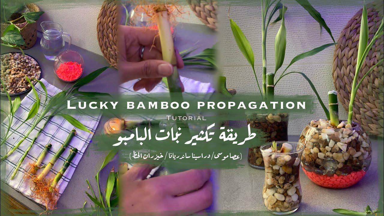 Lucky Bamboo Propagation Tutorial طريقة تكثير نبات البامبو عصا موسى دراسينا ساندريانا الخيزران Youtube