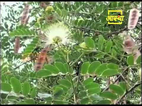 Ayurvedic use of Siris Tree (Shirish)