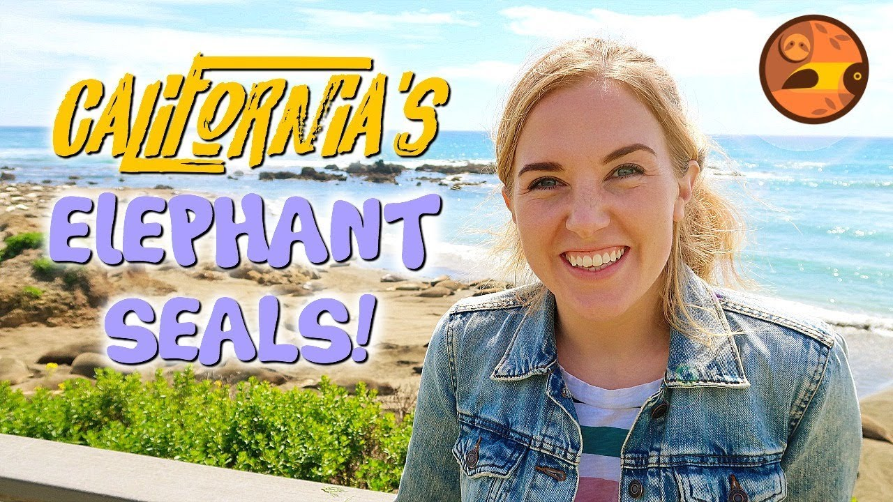 California's Elephant Seals! | Maddie Moate