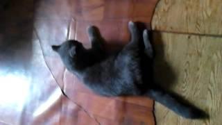 Кот после операции (кастрирование)