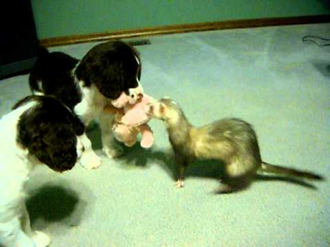 Ferret tries to get her toy back from Springer Spaniel