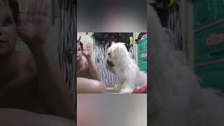 Dog tricks  Maltese x Shih Tzu x Poodle