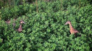 Индийский бегун - действительно ли яйценосная порода уток?