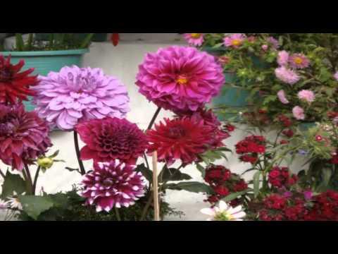 Dahlia  the national flower of Mexico