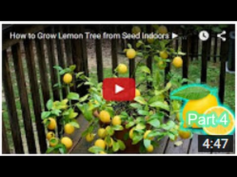 how to grow lemon tree seed from indoors fast part 4 youtube. Black Bedroom Furniture Sets. Home Design Ideas