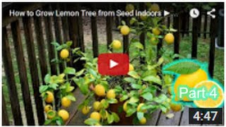 How to Grow Lemon Tree Seed from Indoors FAST Part 4